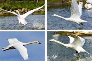 Swans at Slimbridge